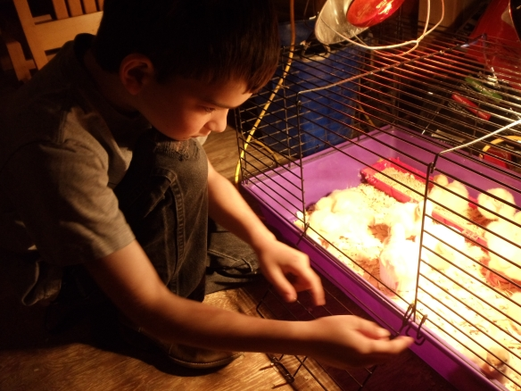 Isaiah feeds the new chicks.